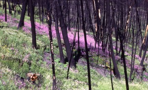 fireweed-nps