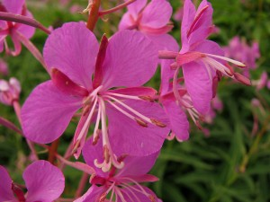 Fireweed is a wildflower that most often sprouts after fires have destroyed a forest.